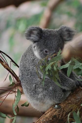 Koala Alkoomie im Zoo Parc de Beauval