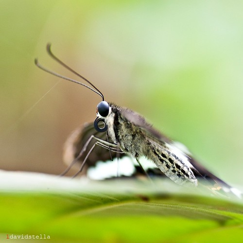papilio demolion {Banded Swallotail}