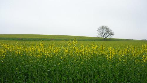 Colza field in Skåne, Sweden