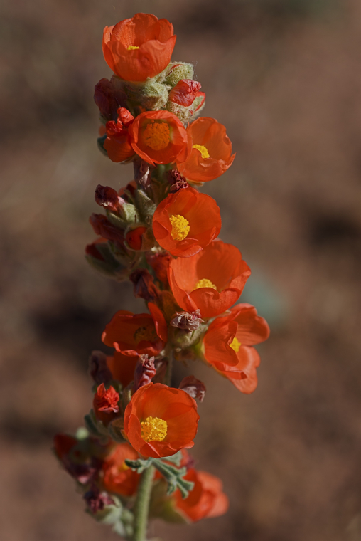 Unknown wildflower, northern Arizona