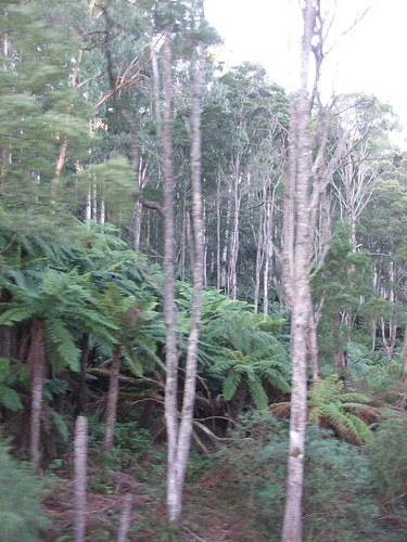 Dandenong Ranges Trees