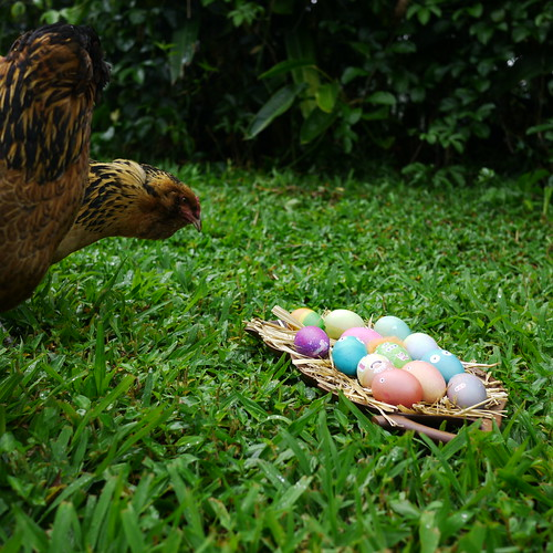 Chickens Inspecting Easter Eggs