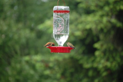 Hummingbird Couple