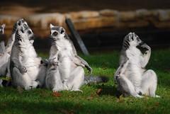 Kattas im Zoo de La Palmyre