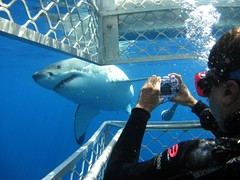 A cage diving tourist snaps a photo of a great white shark