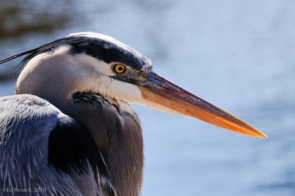 Great Blue Heron profile
