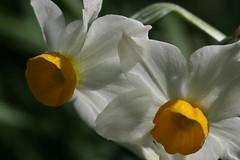 氷取沢市民の森のスイセン(Narcissus at Hitorizawa civic forest, Japan)