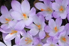 A cluster of crocuses - and an interloper
