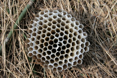Paper wasp nest from nestbox