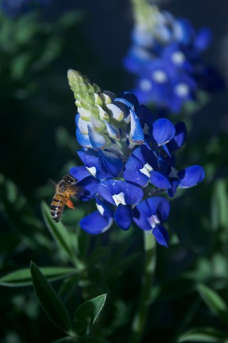 Bee on Bluebonnet
