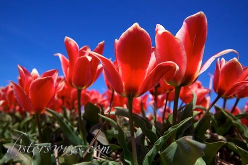 Tulipanes al sol