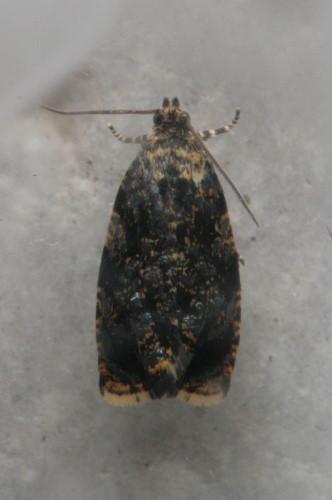 [prob] Olethreutes albiciliana