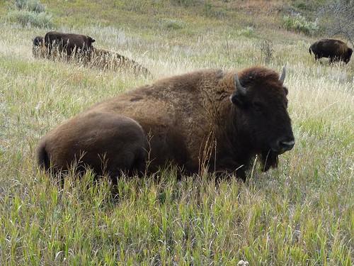 ND Teddy Roosevelt Nat'l Park Buffalo closeup 3