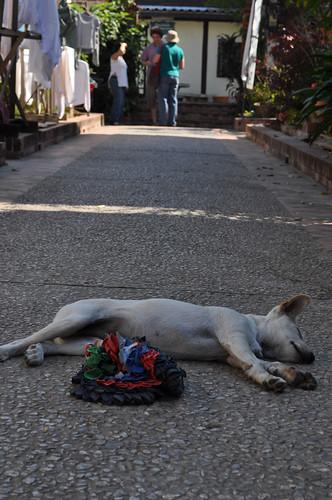 White Dog in Luang Prabang