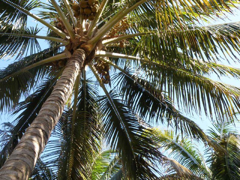 coconut tree1