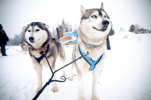Sled Dogging in Prince George British Columbia