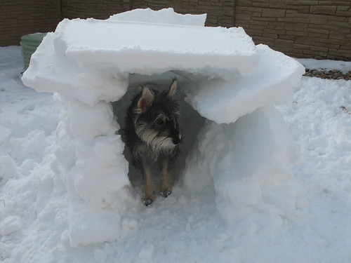 schnauzer mix in small igloo