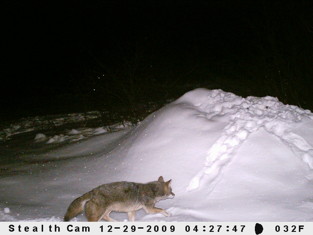stealth cam coyote