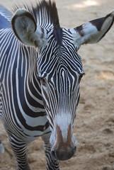 Grevyzebra im Zoo de Doué-la-Fontaine