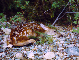 Shhhhh ........ Sleeping Fawn .... Trinity Alps