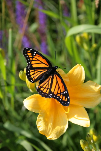 Viceroy on daylily