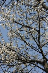 新治市民の森のコブシ(Kobushi magnolia at Niiharu civic forest, Japan)