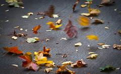 Leaves Wind Dance Series - 1 of 4