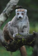 Kronenmaki in der Réserve Zoologique de Calviac