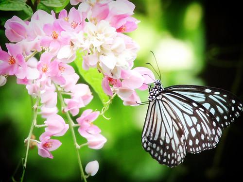 ButterflyThailand