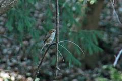 モズ(Shrike at Shikinomori park, Japan)