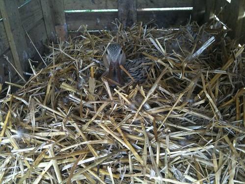 brütende Laufente im Nest