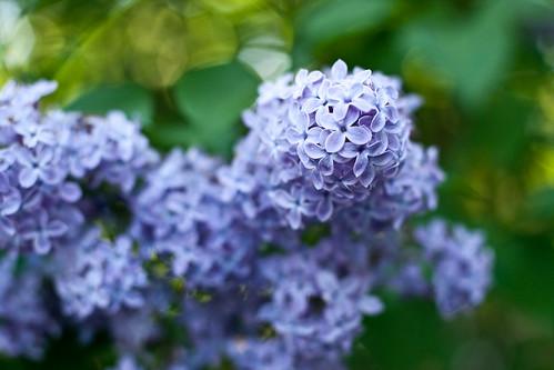 138/365 | lilacs