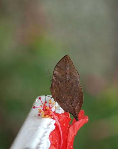 LeafButtefly