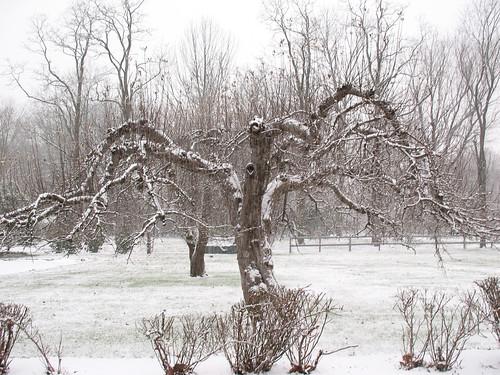Snowy Gnarled Tree