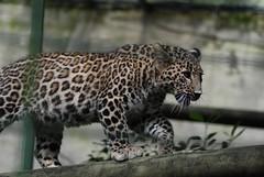 Persischer Leopard im Zoo Parc de Beauval