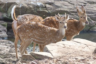 Spotted deer in Ranthambore National Park