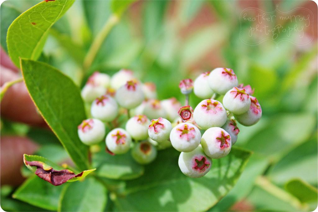 blueberries1