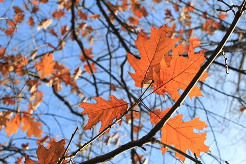 Marshfield, Wisconsin - Oak Leaves in Fall