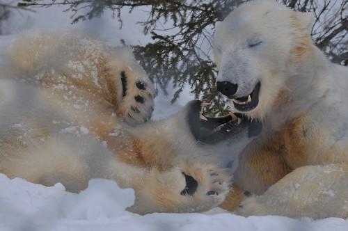 Eisbären Ewa und Wilbär im Björnpark Orsa