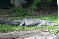 Alligator mississippiensis (American Alligator...