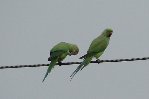 Parrots, often find as couples