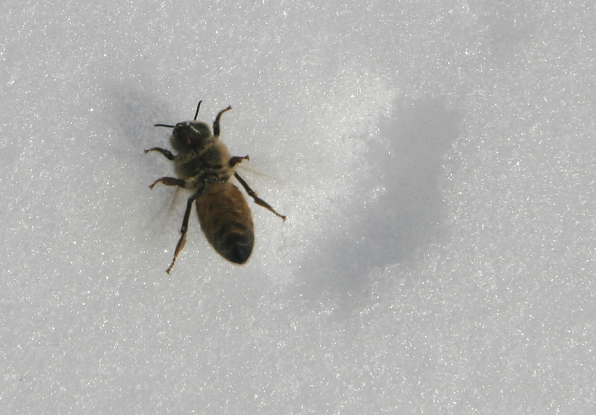 dead bee in the snow