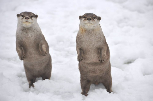 Two otters on their hind legs in the snow. Are they dancing?