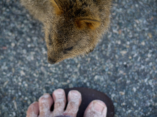 Quokka Meets Sandyfoot