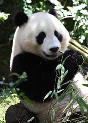 Smiley panda