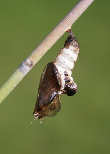 empty Viceroy chrysalis