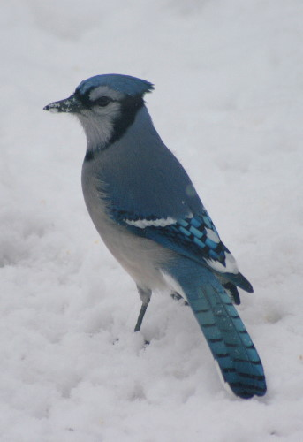 New Year's Blue Jay