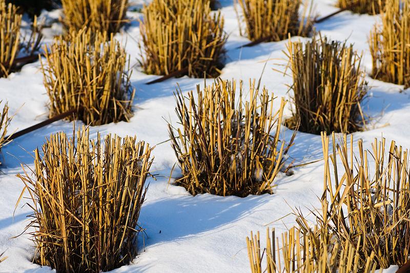 Arbustos entre la nieve