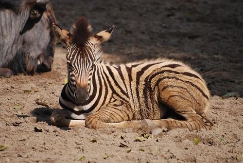 Chapman-Zebra  im Zoo de La Palmyre