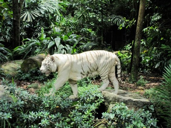 White Tigers 2
